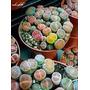 Pack De Semillas Cactus Piedras Vivas Litops