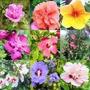 Flor Hawaiana Jamaicana Semillas Hibiscus Mix Colores