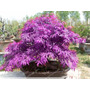 Semillas Bonsai Arce Purpura Pack 30