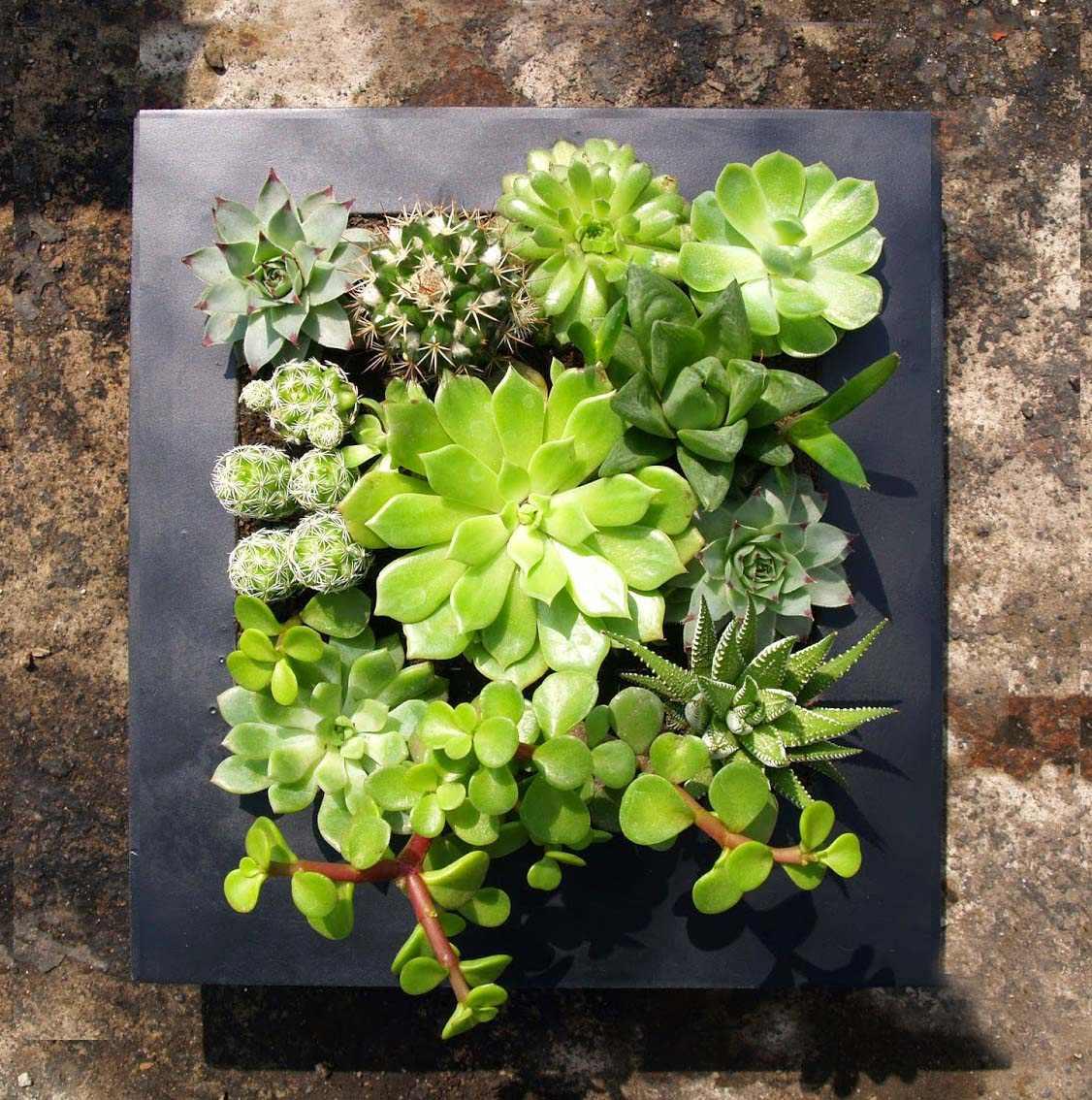 Jard n vertical cuadro vivo con suculentas s 130 00 for Cuadro jardin vertical