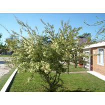 Pitanga- Árbol Nativo Frutal, Floral- Melífero, Aromático