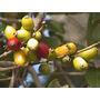 Guayabo Blanco- Árbol Nativo- Floral, Frutal, Ornamental