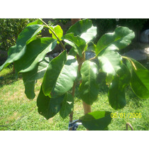 Graviola O Guanabana Árboles De Buen Tamaño