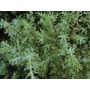 Enebro Árbol De Enebro. Plantas, Árboles, Palmeras, Arbustos