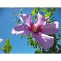 Plantas De Hibiscos O Rosas De Siria Ideal Casa Jardin