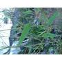 Planta Caña Tacuara Mas De 1.80mts