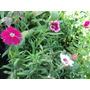 Plantas De Clavelina Floral En Maceta Descartable
