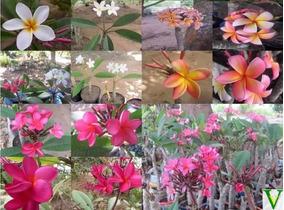 347a2d1550 Muda Plumeria - Jardinagem no Mercado Livre Brasil