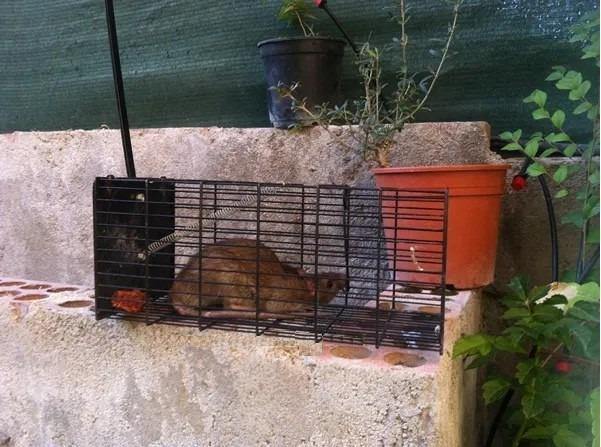 Jaula trampa para ratas y ratones calidad y garant a total s 40 00 en mercado libre - Trampas para ratones y ratas ...