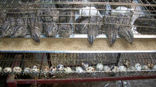 jaulas para criar codornices ponedoras