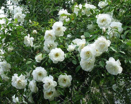 Jazmin de sambac gran duque de toscana nyctanthes sambac for Jazmin planta precio