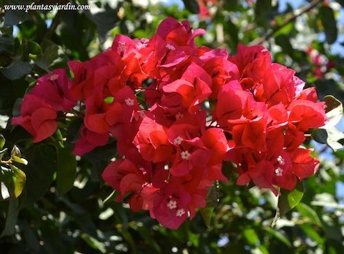 jazmin del cabo, hibisco rojo o rosado y santa rita(combo)