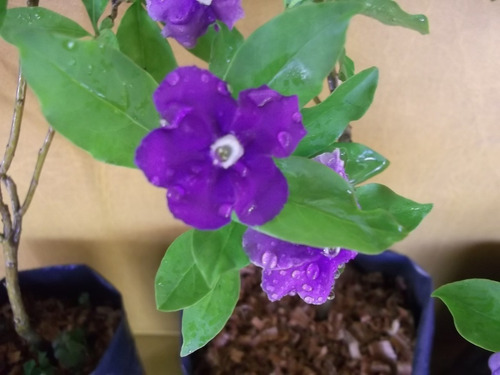 jazmín del paraguay- arbusto, flor bicolor, delicado perfume