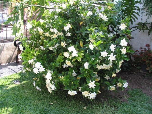 planta arbusto jazmin del cablo ideal macetas o jardin