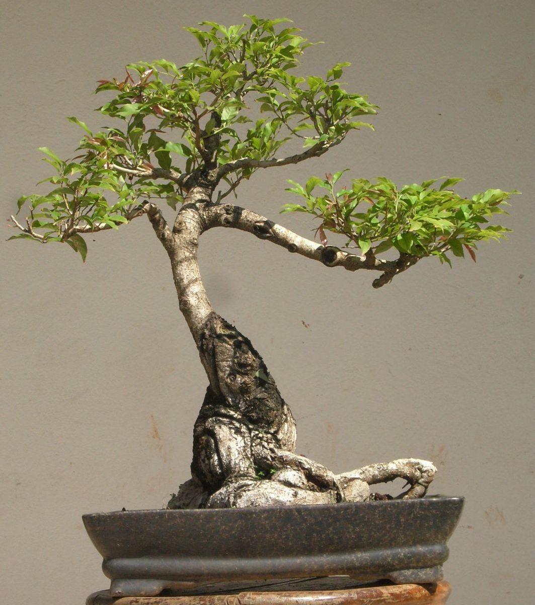 Jequitiba gigante sementes arvore nativa p mudas e for Como cultivar bonsais