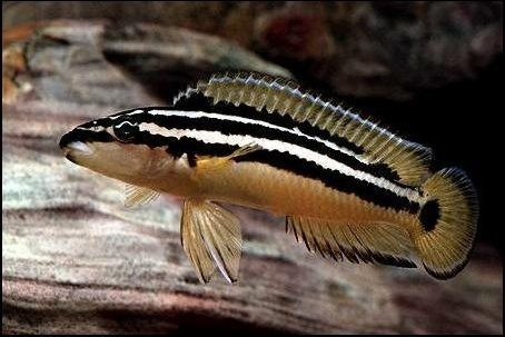 julidochromis ornatus - ciclido africano del lago tanganica
