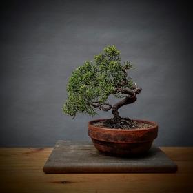 Junípero Shimpaku - Bonsai - 100% Japanese