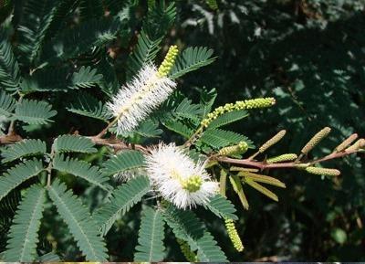 jurema preta (mimosa hostilis) pacote com 100 gramas