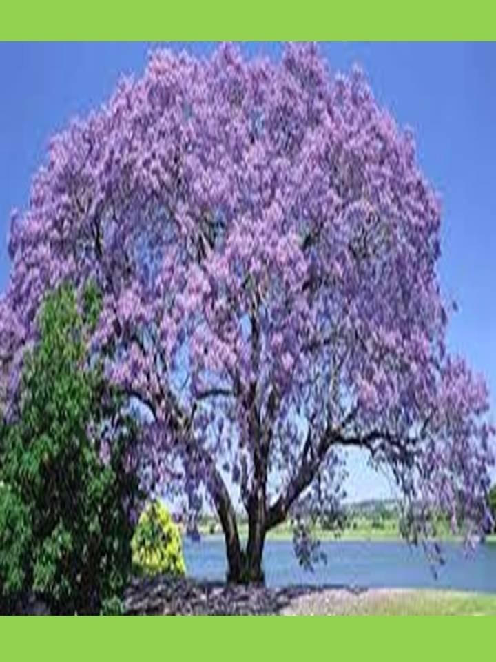 Kiri rbol floral sombra crece r pido solo 2 por ahora for Arboles de hoja perenne que crece rapido