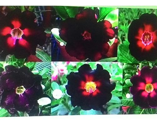 kit 06 sementes rosa do deserto mix negras ko