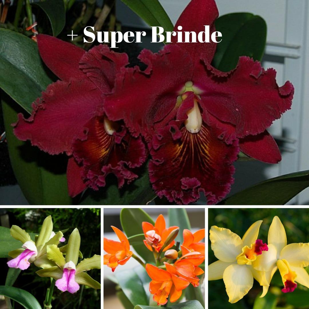 Kit 10 Mudas De Orquídeas Cattleyas Promoção Super Brinde