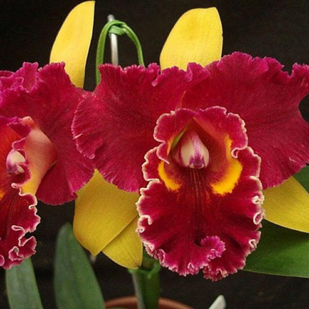Kit 10 Orquideas Cattleyas Adulta Promoção Mais Adulbo Flor