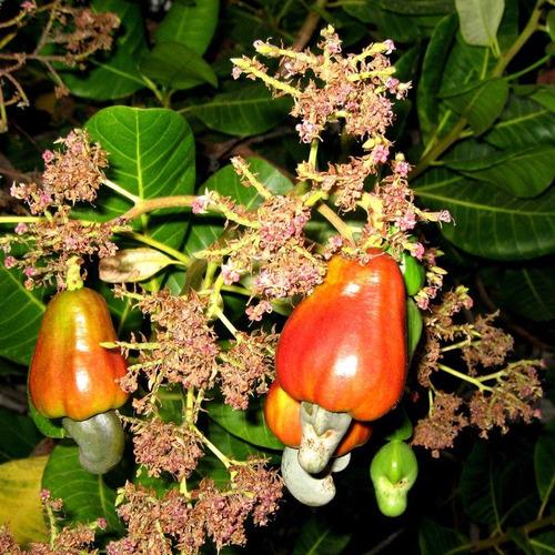 kit 12 sementes - cajú - cajueiro - anacardium occidentale