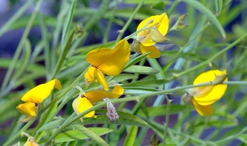kit 150 sementes - crotalaria juncea - promoção!