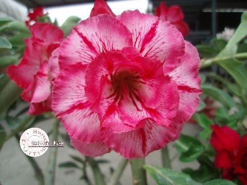 kit 18 sementes rosas do deserto matizadas frete gratis