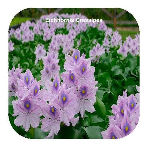 kit 25 camalote jacinto aguapé planta para lago fonte açude