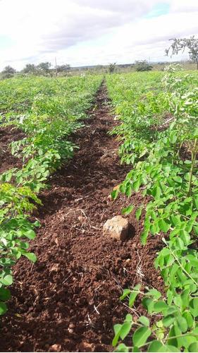 kit 25 pacotes de folhas de moringa oleífera. atacado
