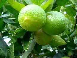 kit 3 mudas:1 dedo de moça+ limão taiti 1 laranja valência