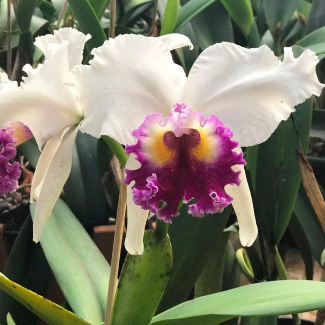 Kit 3 Orquideas Cattleyas Adulta Mais Adulbo E Substrato Grátis Promoção