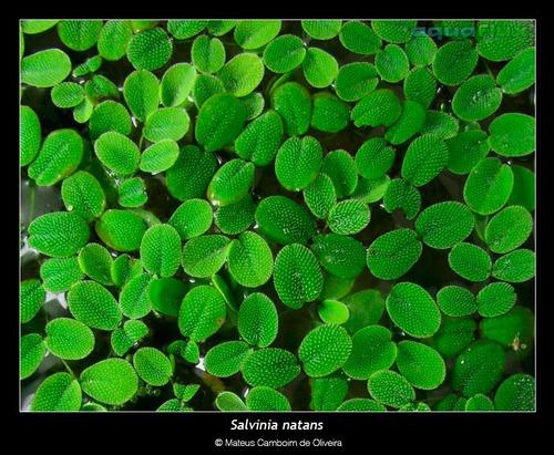 kit 30 mudas planta flutuante lagos marrequinha salvinia sp
