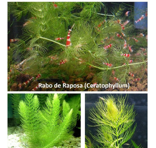 kit 4 rabo de raposa ceratophyllum ideal p/ camarão caridina