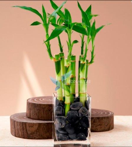kit 5 mudas de bambú chinês da sorte - kit saúde - 10 a 15cm