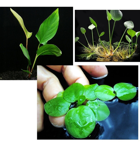 kit anúbia lanceolata 10 frogbit spirodela planta aquática