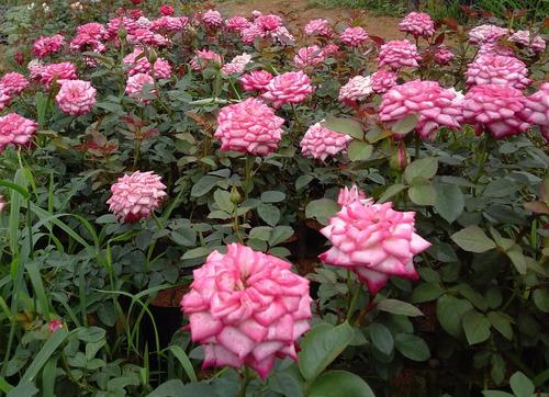 kit c/10 mudas de rosas cores variadas (+ 2 de mudas brinde)