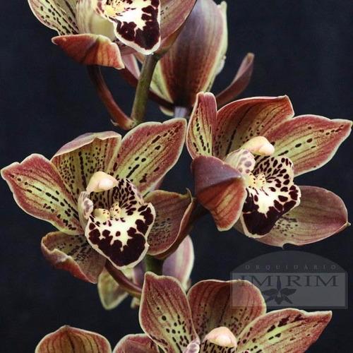kit com 10 lindos cortes orquídeas cymbidium + brindes