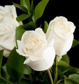 Resultado de imagem para Rosa Branca