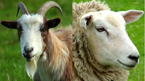 kit cría de cabras y ovejas. producción de carne y leche