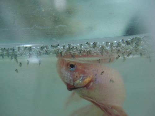 kit de reproduccion de pez betta paquete completo, con peces