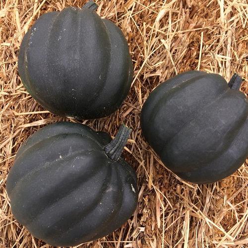 kit de sementes abóboras super mini jack e pérola negra