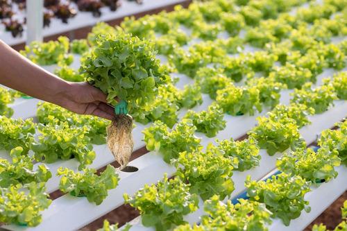 kit hidroponia alface nutriente semente espuma fenólica 04