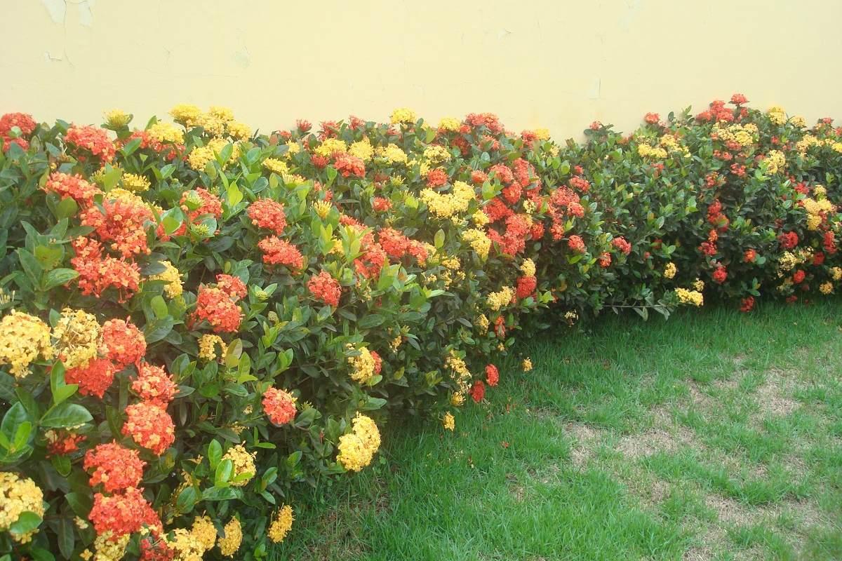 plantas para jardim cerca viva , Ideal Para Cerca Viva Lindas Plantas