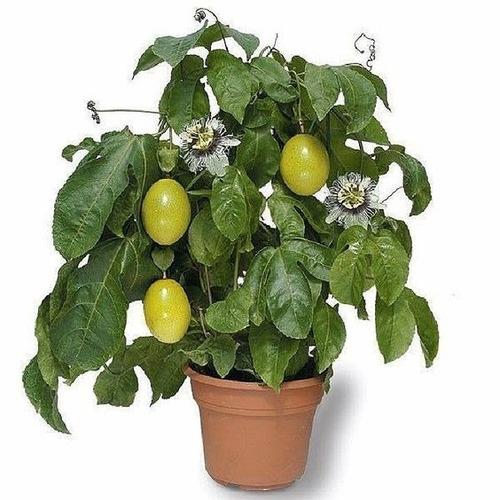 kit melancia anã,maracujá anão,mamão papaya anão frte grátis
