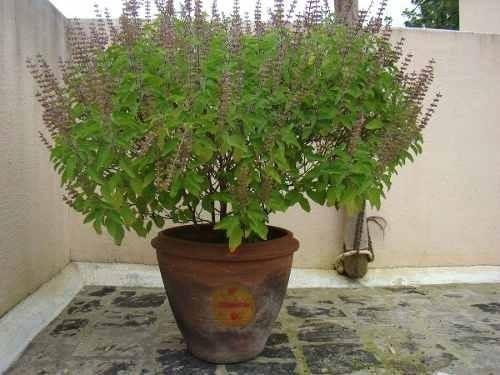 Tulsi Plant Hd Wallpaper: Kit Mudas, Manjericão,arruda,alecrim,manjerona E Boldo