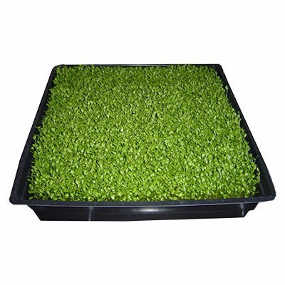 kit para cultivar microgreens mixto