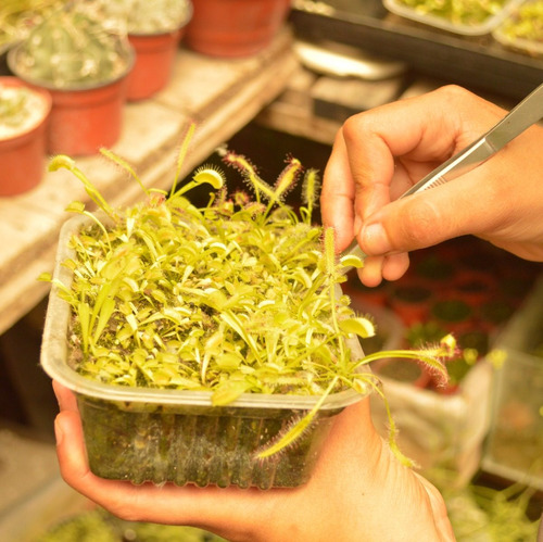 kit plantas carnívoras- venus atrapamoscas