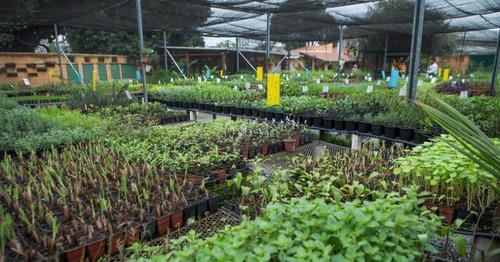 kit sementes de manjericão c/ 6 tipos tempero horta vasos